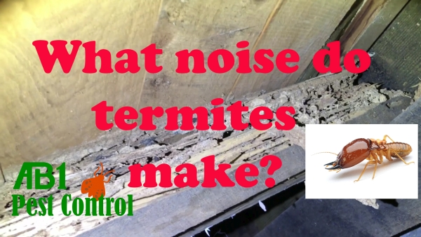 The sounds of termites