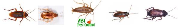 Sydney cockroach types