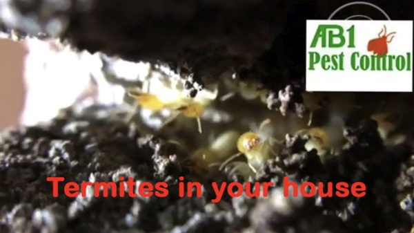 Termites in your house